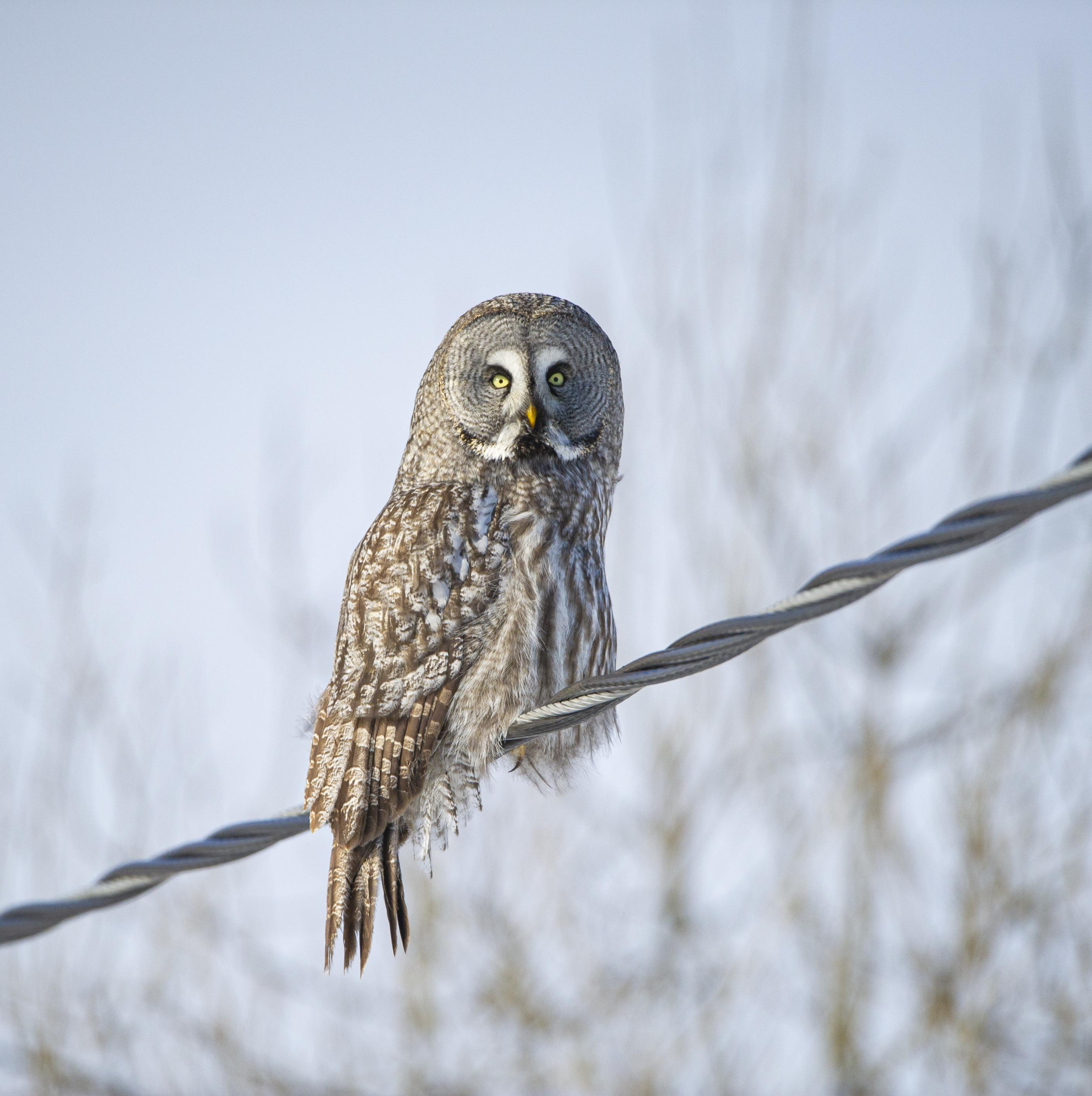 Iso-Syötteellä voi kuvata ja bongata pöllöjä ja erilaisia lintuja. Lapinpöllö on yleinen näky. Syötteen luonto on monipuolinen.